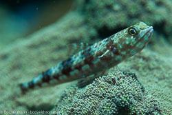 BD-161026-Pantar-3038-Synodus-variegatus-(Lacepède.-1803)-[Variegated-lizardfish].jpg